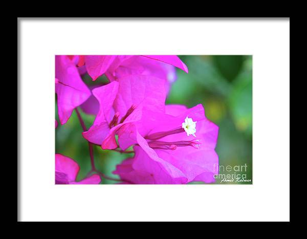 Flower . Rose . Nature Framed Print featuring the photograph Flower by Ahmed Radwan