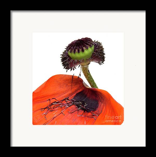 Indoors Framed Print featuring the photograph Flower Poppy In Studio by Bernard Jaubert