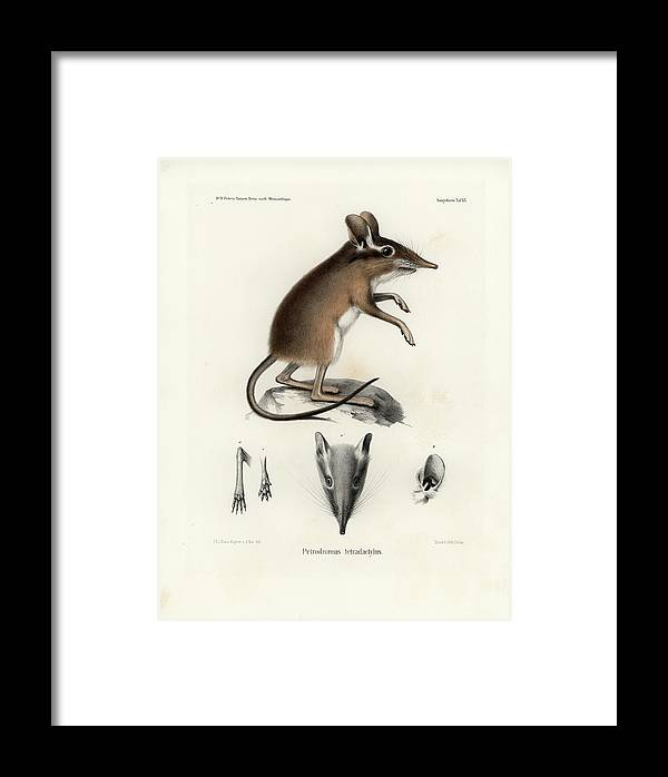 Shrews Framed Print featuring the drawing Four-toed Elephant Shrew by J D L Franz Wagner