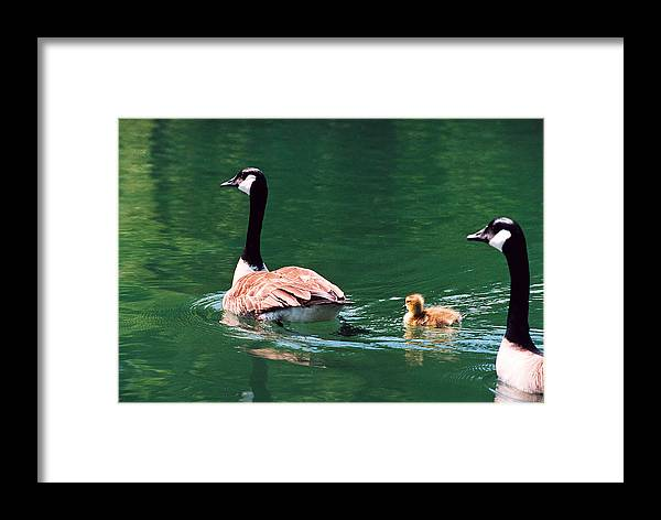 Goose Framed Print featuring the photograph Geese Family by Paul Trunk