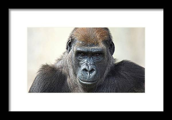 Ape Framed Print featuring the photograph Gorilla 1 by DiDi Higginbotham