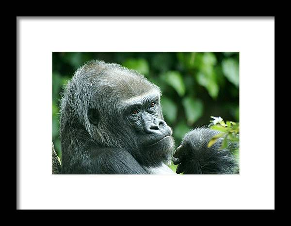 Animal Framed Print featuring the photograph Gorilla Headshot by Sonja Anderson