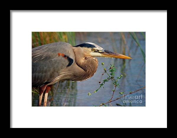 Bird Framed Print featuring the photograph Great Blue by Jill Pearson