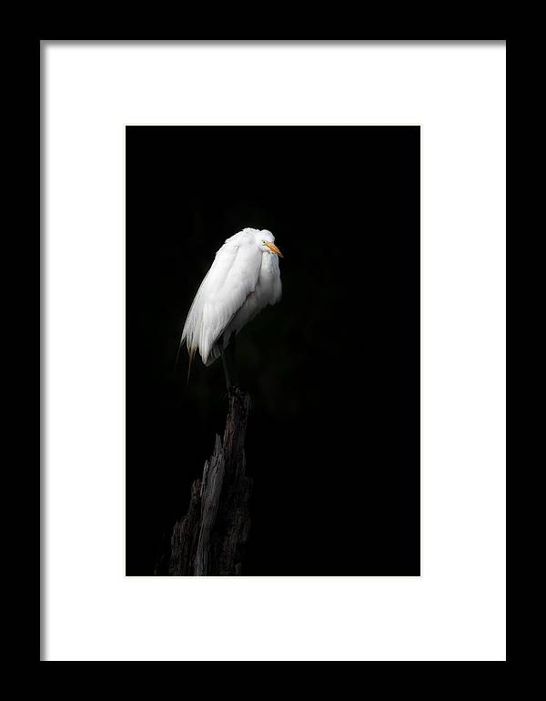 Egret Framed Print featuring the photograph Great Egret by Bill Wakeley
