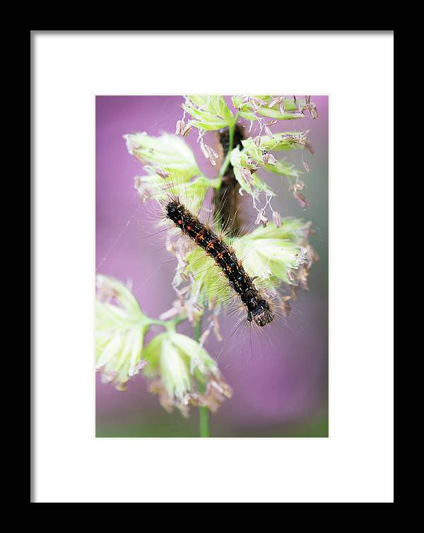 America Framed Print featuring the photograph Gypsy Moth Caterpillar by Clifford Pugliese