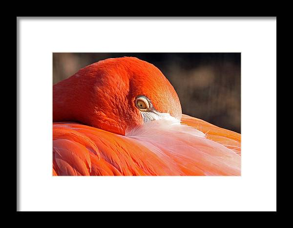 Flamingo Framed Print featuring the photograph Happiness by Mitch Cat