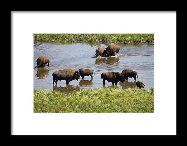 Bison Framed Print featuring the photograph Hayden Valley Bison by Steve Aserkoff