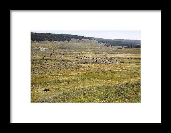 Bison Framed Print featuring the photograph Hayden Valley Herd by Steve Aserkoff