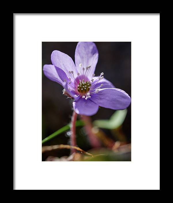 Anemone Hepatica Framed Print featuring the photograph Hepatica 4 by Jouko Lehto