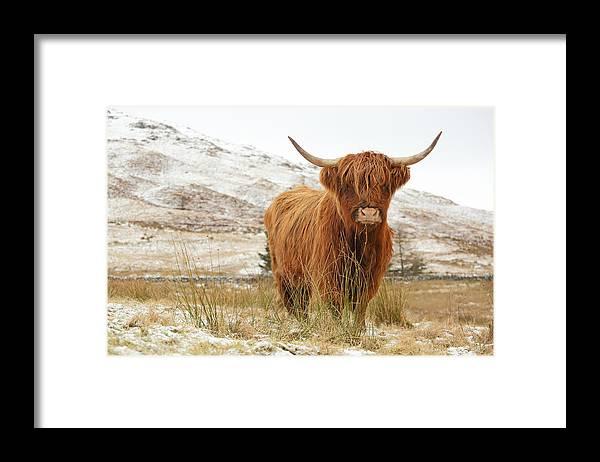 Highland Cow Framed Print By Grant Glendinning