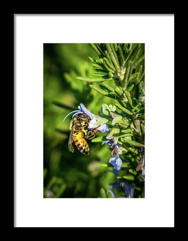 Honey Framed Print featuring the photograph Honey Bee On Bush by Eric Strickland