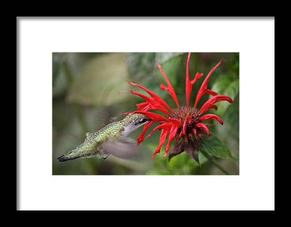 Betsy Lamere Framed Print featuring the photograph Hummingbird by Betsy LaMere