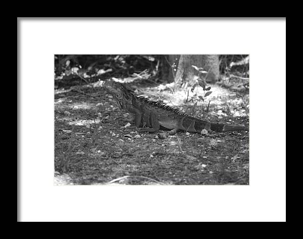 Black And White Framed Print featuring the photograph I Iguana by Rob Hans
