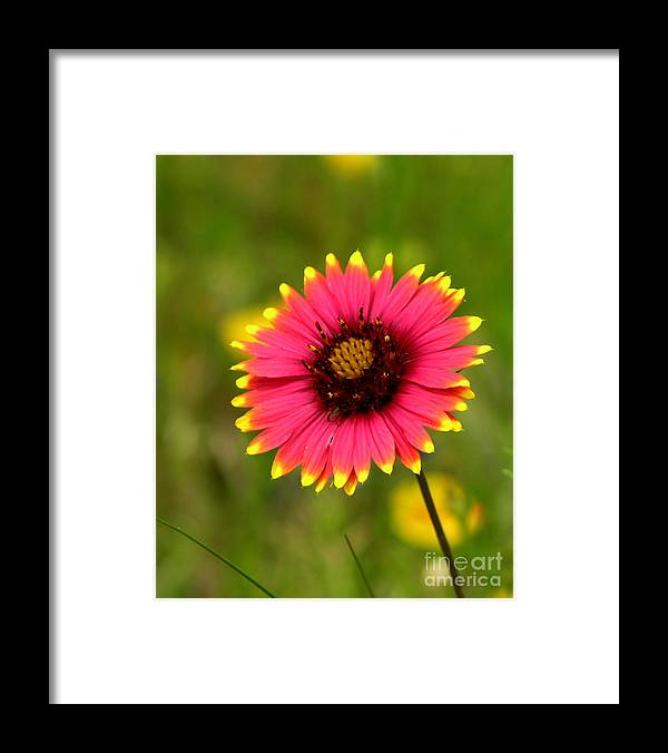 Floral Framed Print featuring the photograph Indian Blanket by Paul Anderson