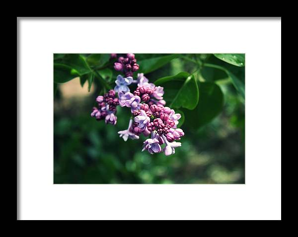 Lilacs Framed Print featuring the photograph Lilac by Cathie Tyler