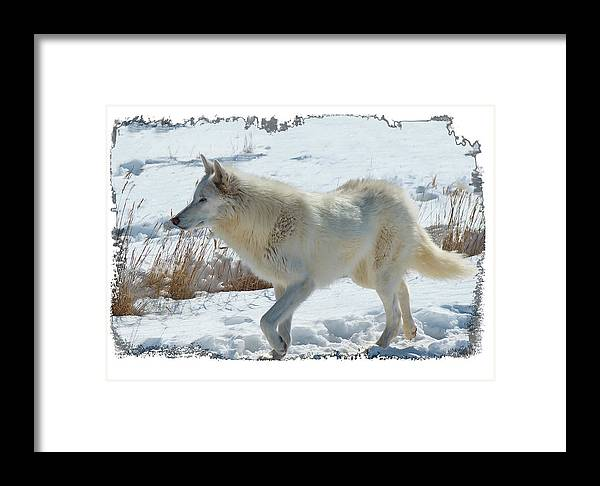 Lone White Wolf Framed Print featuring the photograph Lone White Wolf by OLena Art Brand