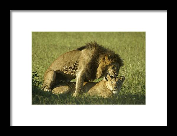 Africa Framed Print featuring the photograph Love Bite by Michele Burgess