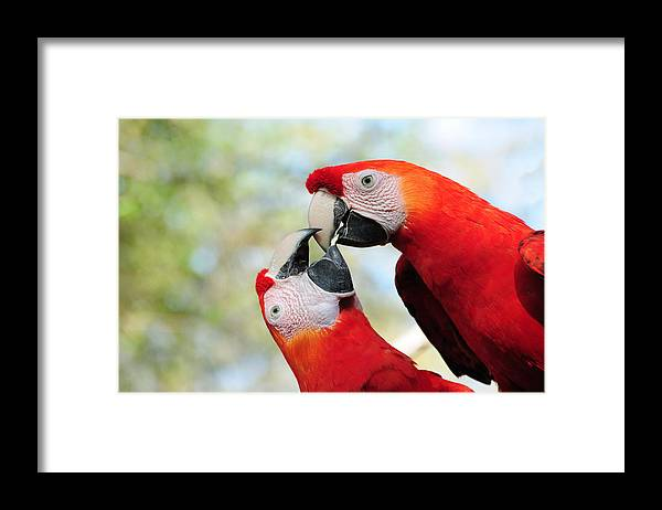 Bird Framed Print featuring the photograph Macaws by Steven Sparks