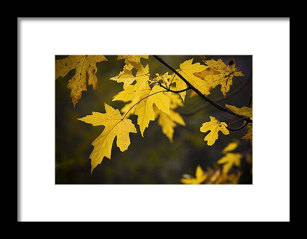 Maple Leaf Framed Print featuring the photograph Maple Leafs Of Yellow by Chad Davis