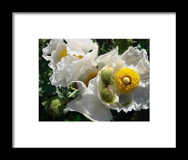 Flowers Framed Print featuring the photograph Matilija Poppies by Liz Vernand