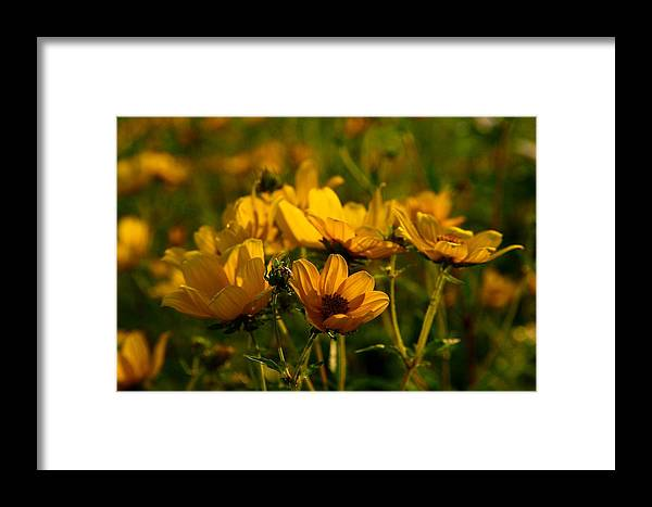 Maximilian Framed Print featuring the photograph Maximilian Sunflowers by Kathryn Meyer
