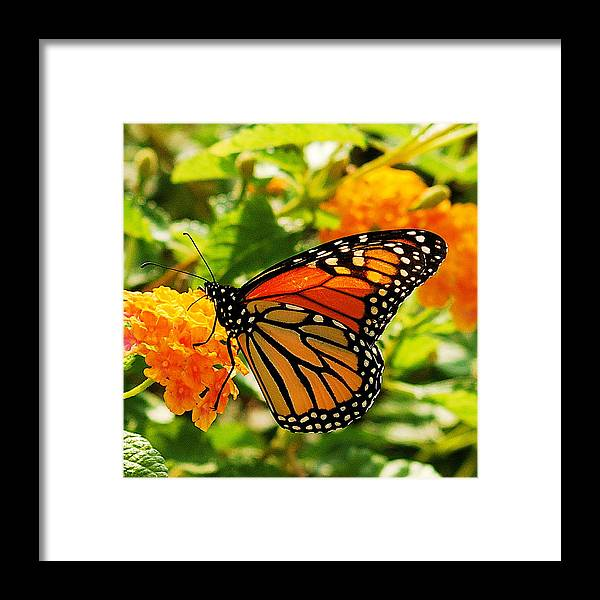 Buterfly Framed Print featuring the photograph Monarch by Michael Peychich