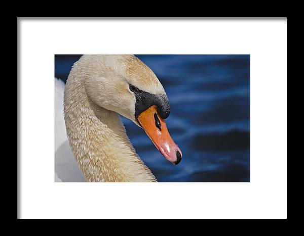 Birds Framed Print featuring the photograph Mute Swan by Christine Kapler