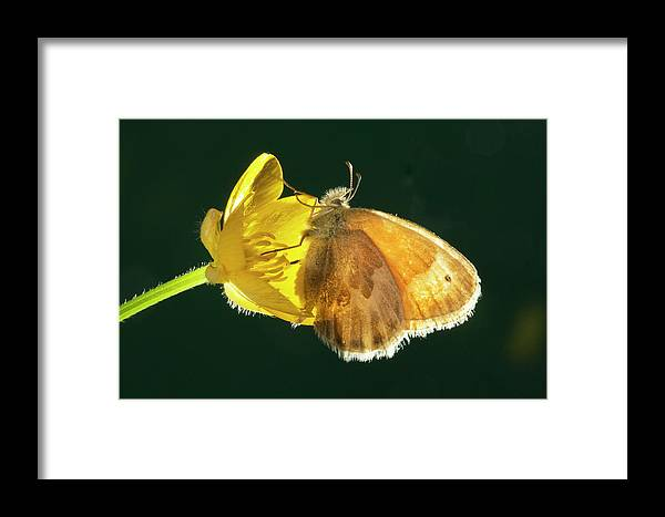 Ochre; Ringlet; Butterfly; Ochre Ringlet; Coenonylmpha Tullia; Butterflies; Inset; Bug; Fly; Flight; Wing; Yellow; Buttercup; Sipping; Nectar; Drinking; Eating; Resting Framed Print featuring the photograph Ochre Ringlet Butterfly by Buddy Mays