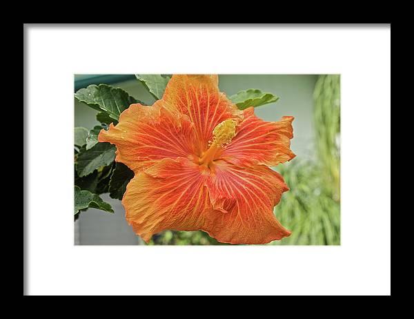 Orange Framed Print featuring the photograph Orange Hibiscus by Eddie Freeman