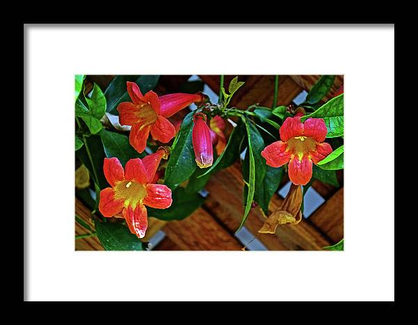 Orange Trumpet Vine At Pilgrim Place In Claremont Framed Print featuring the photograph Orange Trumpet Vine At Pilgrim Place In Claremont-california  by Ruth Hager