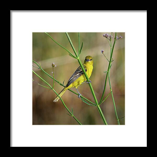 Bird Framed Print featuring the photograph Orchard Oriole by Lindy Pollard