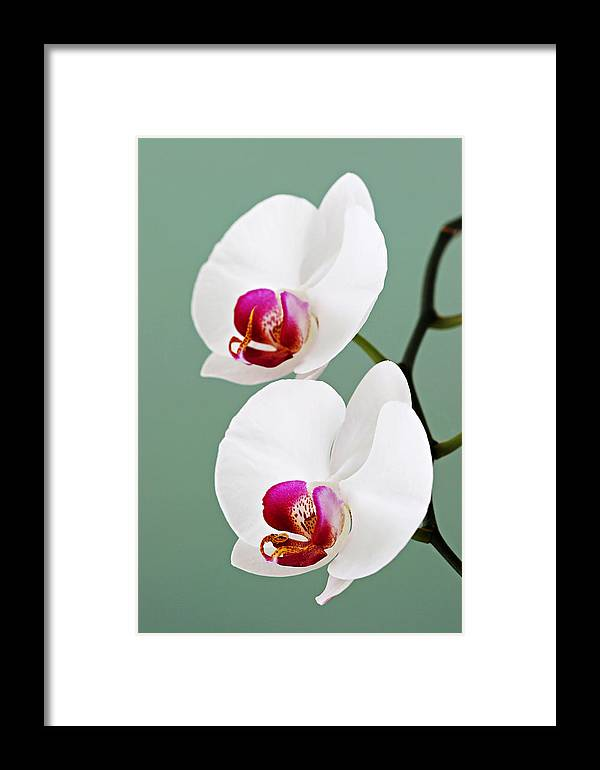Orchid Framed Print featuring the photograph Orchid-2-st Lucia by Chester Williams