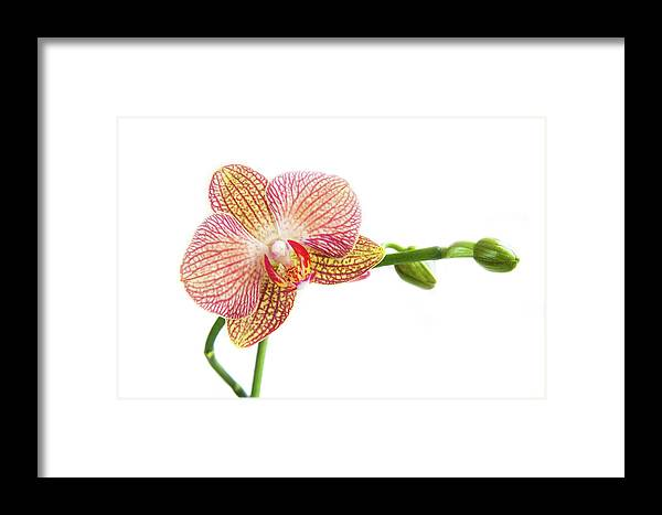 Orchids Framed Print featuring the photograph Orchid, Phalaenopsis, Flower by Michalakis Ppalis