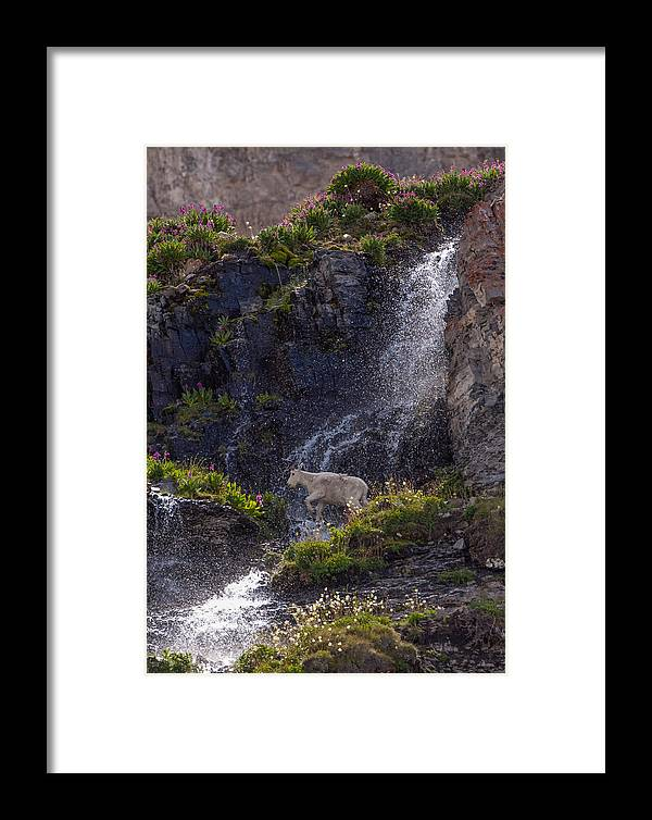 Mountain Goat Framed Print featuring the photograph Paradise by Kent Keller