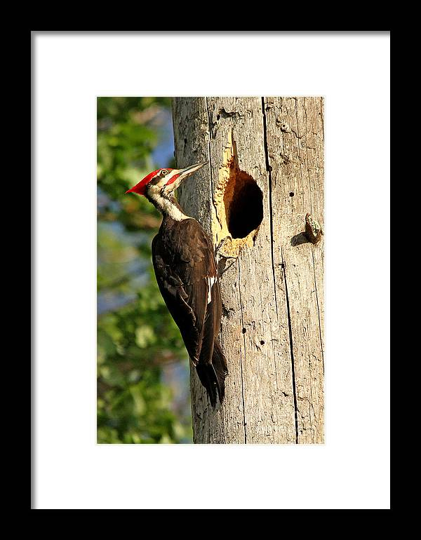 Woodpecker Framed Print featuring the photograph Pileated #26 by James F Towne