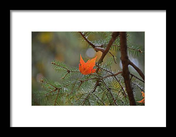 Fall Foliage Framed Print featuring the photograph Pining Away by Maria Keady