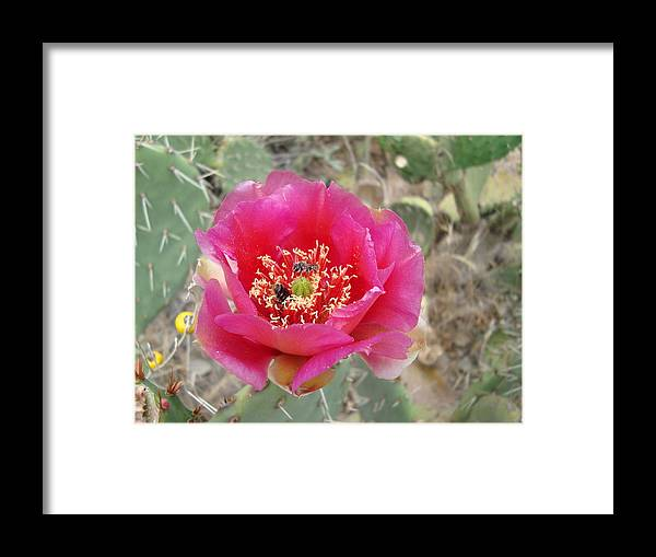 Pink Framed Print featuring the photograph Pink Cactus Flower by Tong Steinle