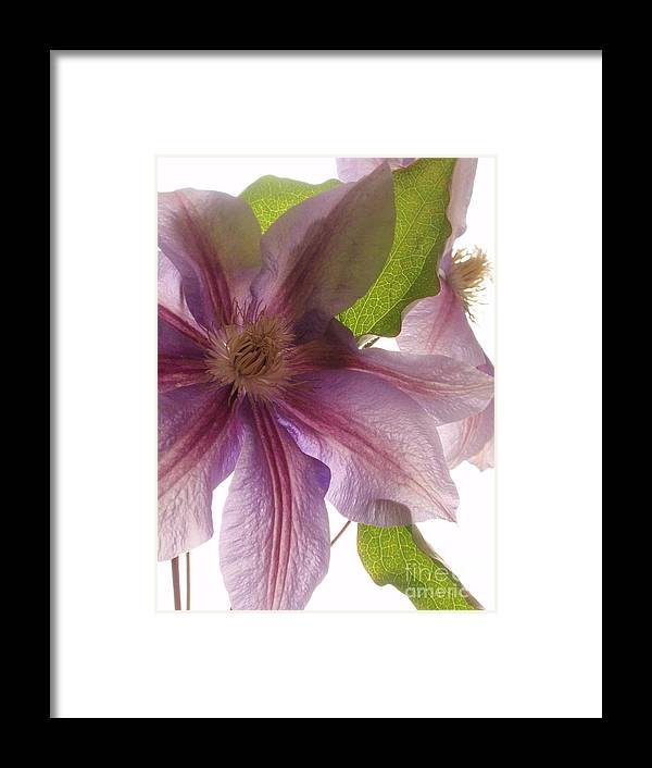 Clematis Framed Print featuring the photograph Pink Tenderness by Valia Bradshaw