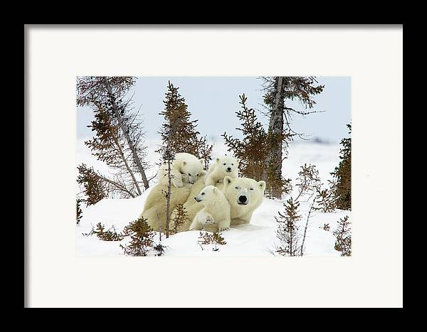 Mp Framed Print featuring the photograph Polar Bear Ursus Maritimus Trio by Matthias Breiter