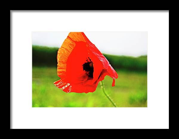 Poppy Framed Print featuring the photograph Poppy The Beauty by HazelPhoto