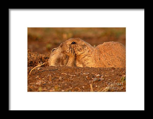 Prairie Dog Framed Print featuring the photograph Prairie Dog Tender Sunset Kiss by Max Allen
