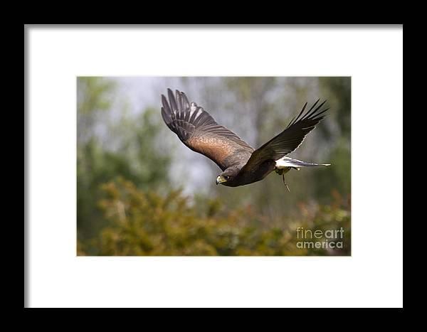 Bird Of Prey Framed Print featuring the photograph Prepare For Landing by Angel Ciesniarska