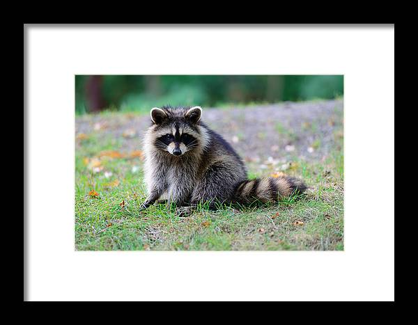 Raccoon Framed Print featuring the photograph Raccoon by Songquan Deng
