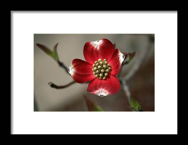 Flower Framed Print featuring the photograph Red Dogwood by Andrei Shliakhau