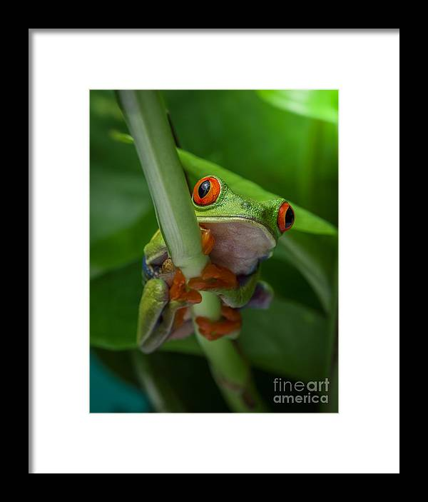 Frog Framed Print featuring the photograph Red Eyed Tree Frog. by Yasar Ugurlu