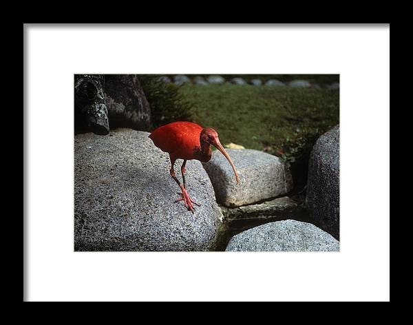 Red Framed Print featuring the photograph Red Ibis by Carl Purcell