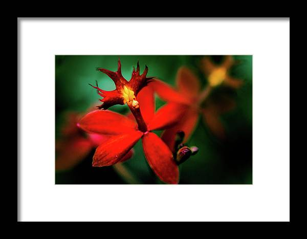Red Orchid Framed Print featuring the photograph Red Orchid by David Creagh