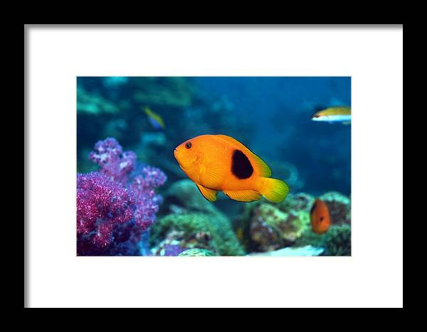 Amphiprion Ephippium Framed Print featuring the photograph Red Saddleback Anemonefish And Soft Coral by Georgette Douwma