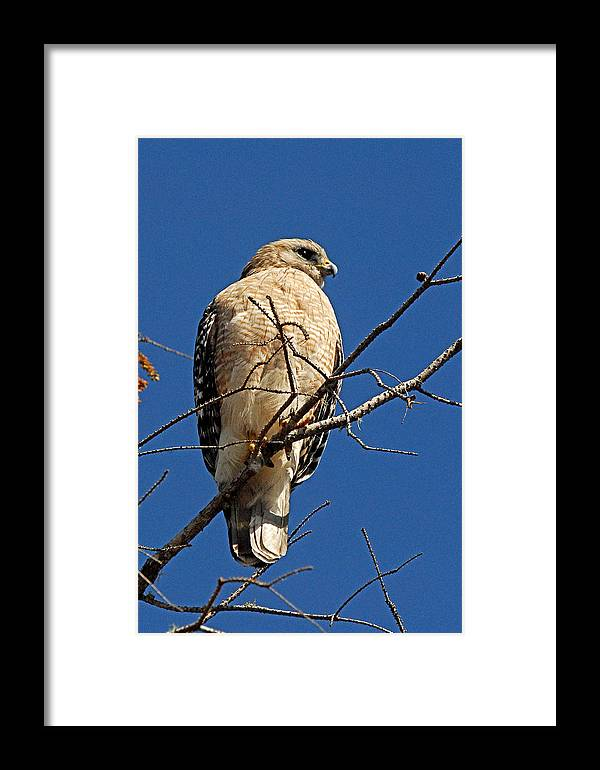 Hawk Framed Print featuring the photograph Red Shouldered Hawk by Alan Lenk