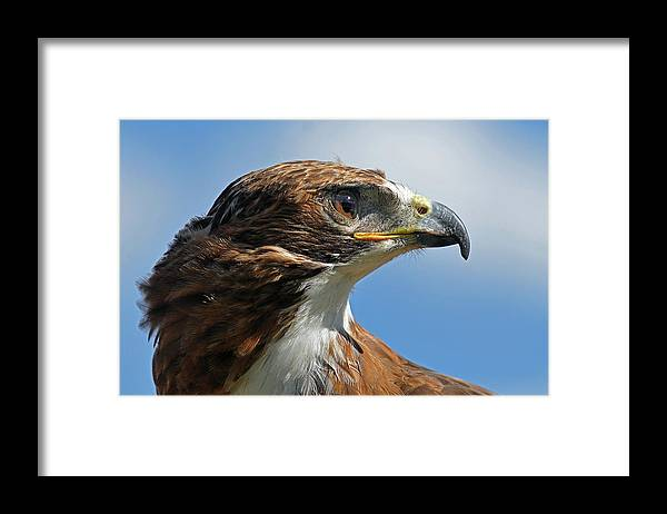 Red-tailed Hawk Framed Print featuring the photograph Red-tailed Hawk by Alan Lenk